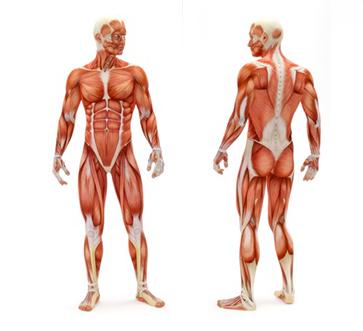 Quel Muscle Travaille Le Velo D Appartement